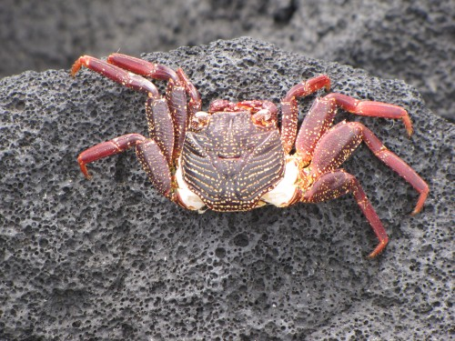 crab black sand beach big island hawaii