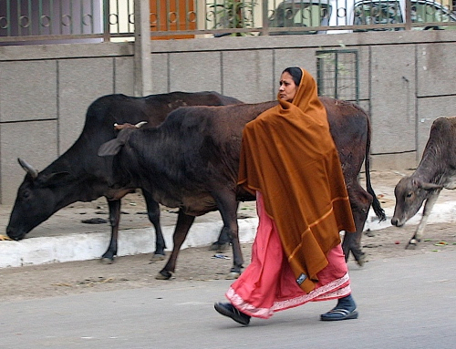 women with cows in india