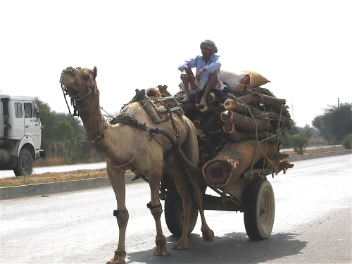 camel on the highway india