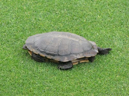 turtle in australia