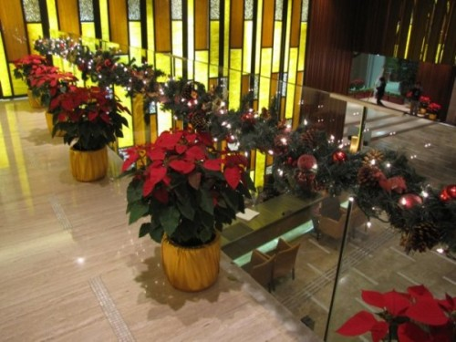 Poinsettias in Horizon Suites