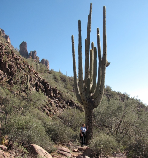 saguaro cacti with person