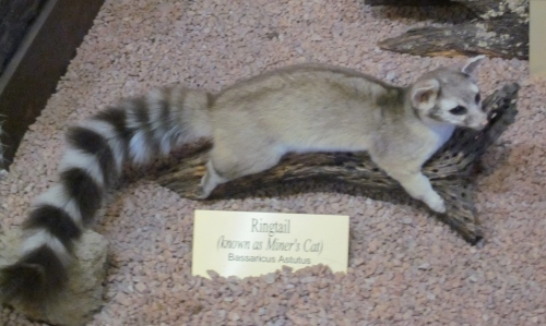 ring tailed miner's cat