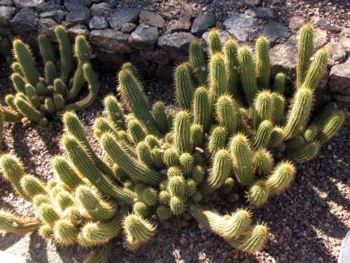 the red torch cactus