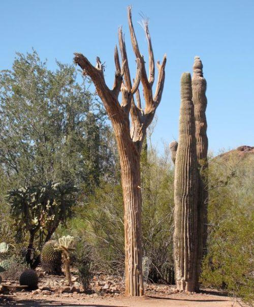 dead saguaro cacti