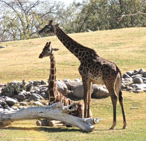 giraffe phoenix zoo