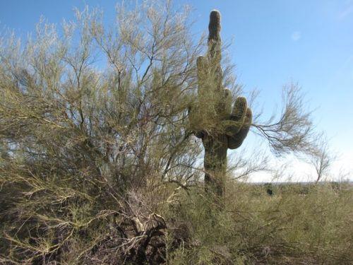 saguaro under a  palo verde tree