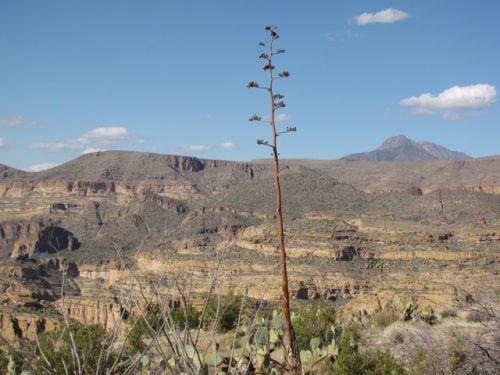 agave flower stalk