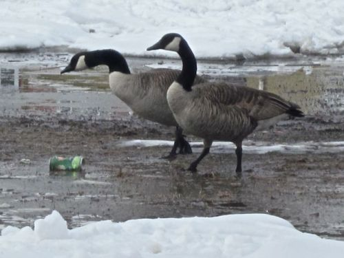 canada geese on school playground in winnipeg