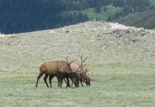 elk at alpine visitor centre