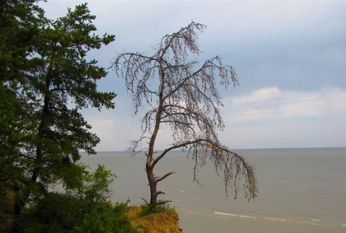 lone tree on lake winnipeg shore