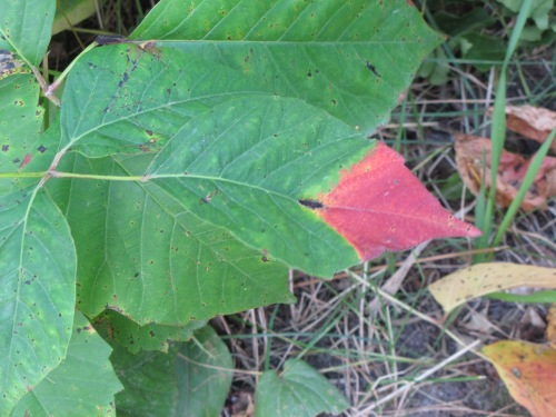 red tipped green leaf