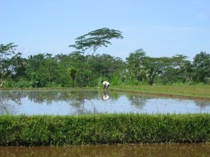 farming rice