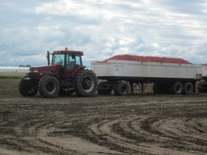 tomato wagons and tractor in field