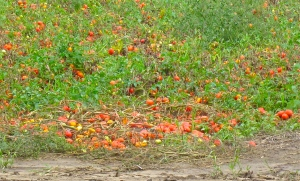 ripe tomatoes in the field