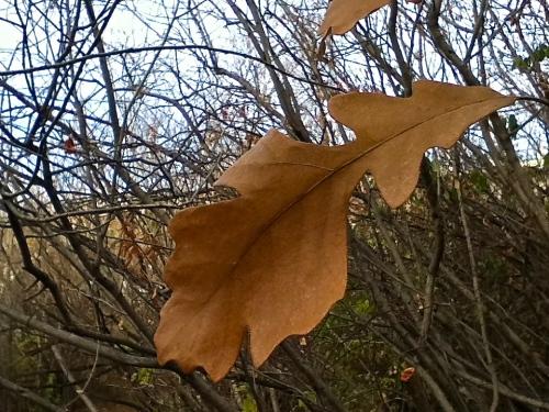 Oak leaf taken on a walk in Saskatoon - October 2013