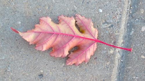 Red Leaf on Sidewalk-Photo taken on a walk in Saskatoon October 2013