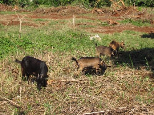 goats grazing runaway bay