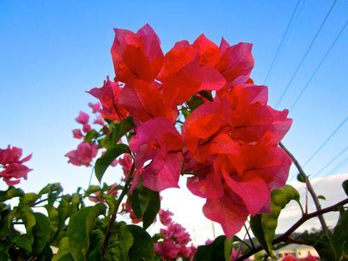 flower of jamaica