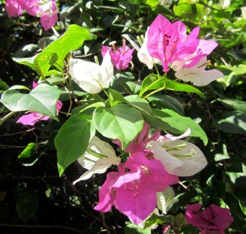 flowers of jamaica