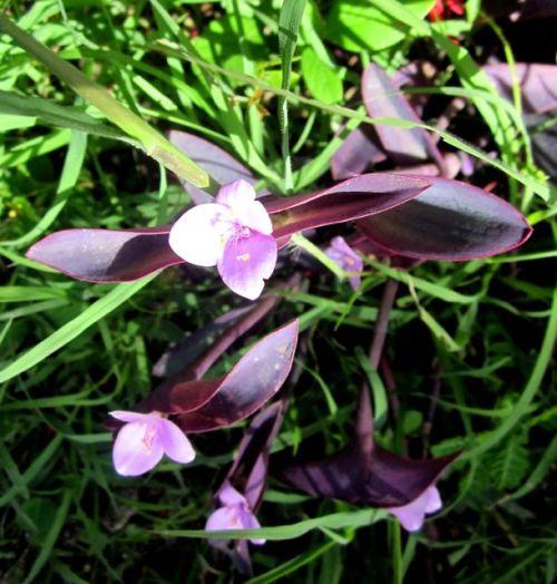 purple flower jamaica