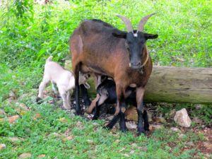 baby goats drinking milk jamaica