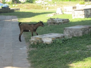 goat in graveyard st. Peter's anglican church