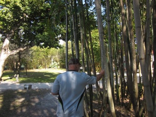 Dave who had a brief but illustrious career in highschool as a pole vaulter tries to decide which bamboo tree would make the best pole vault pole