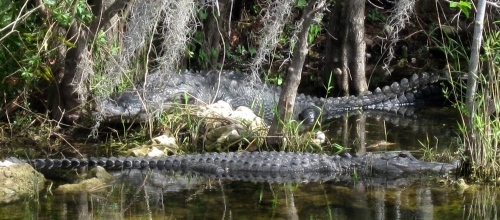 florida alligators
