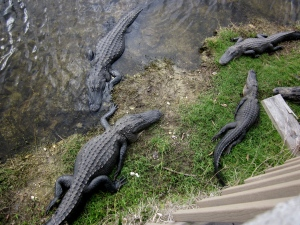 four alligators in the florida keys