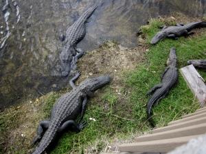 four alligators in the florida keys