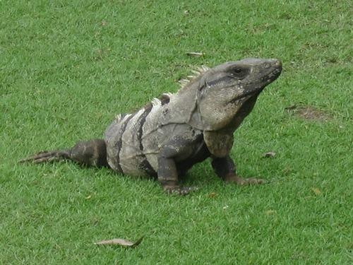 iguana golf course cancun