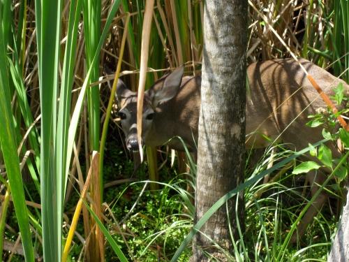 deer cancun