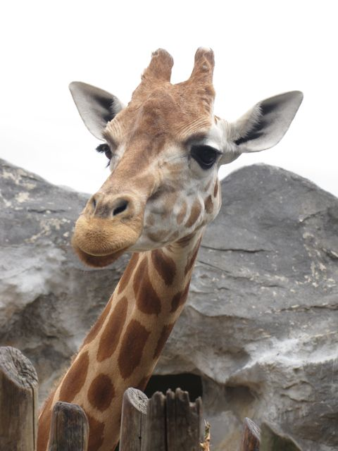 GIraffe- Taronga Zoo Australia
