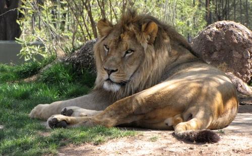 Lion in the Phoenix Zoo