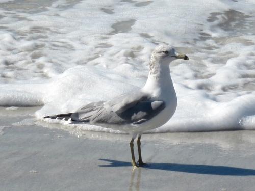 Seagull on the beach in Sarasota Florida