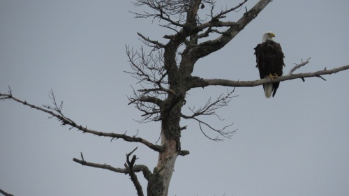 bald eagle moose lake
