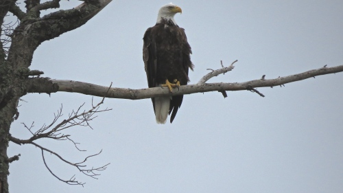 eagle at moose lake