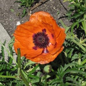 poppies assiniboine park