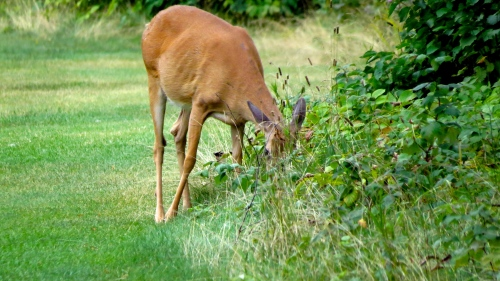 white tailed deer eating