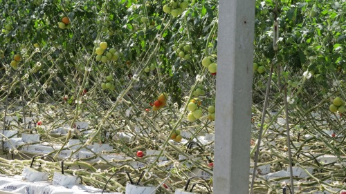 tomatoes are grown in fibre glass