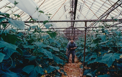 Dad working in the family greenhouse.