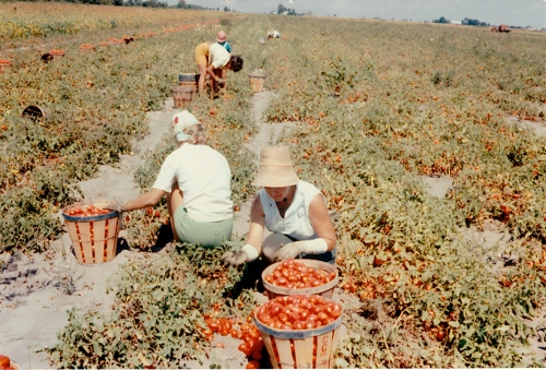 Mom picking tomatoes in the 1960s
