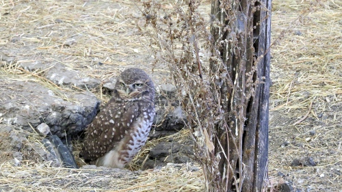 burrowing owls fort whyte