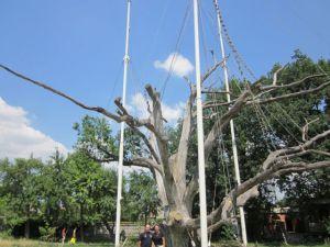 oak tree in ukraine