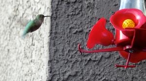 humming bird in arizona