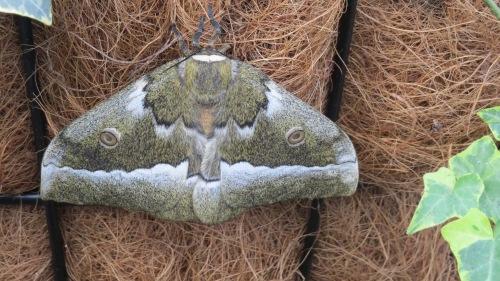 moth butterfly wonderland phoenix