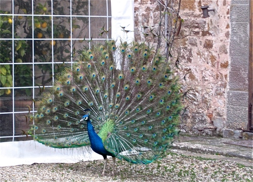 peacock in sienna