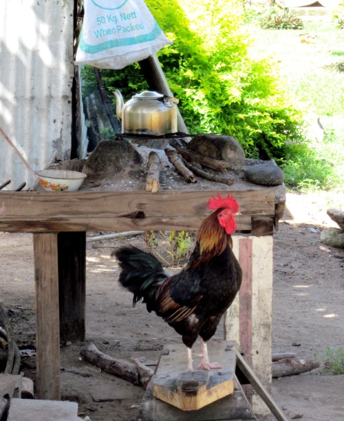rooster in fiji
