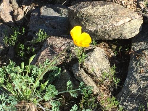 flowers quail trail